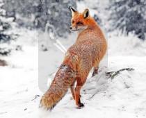 3d Kaart Winter Vos