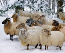 3d Kaart Winter Schapen